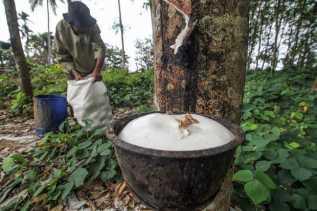 Petani Karet, Yuk Cek Harga Karet di Riau Pekan Ini
